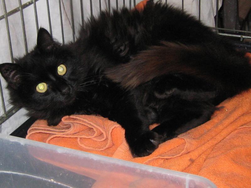 magnifique jeune chat noir poil long cherche adoptants ou FA ( 91) Img_3013