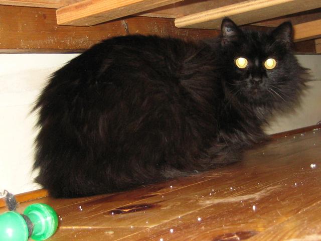 magnifique chatte noire pics