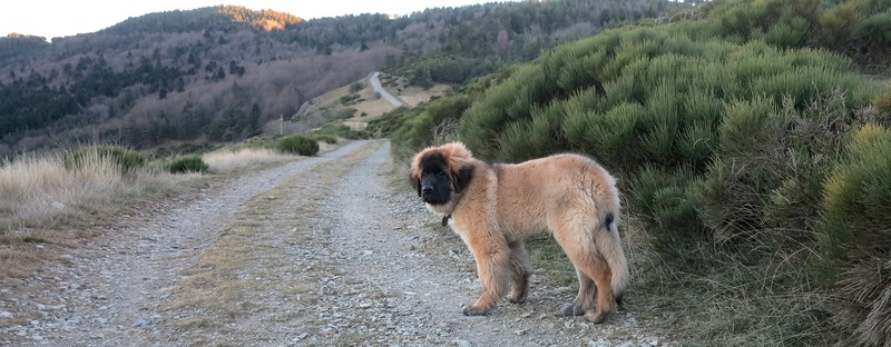 Ico, berger allemand et Misca, leonberg. - Page 5 Img_4610