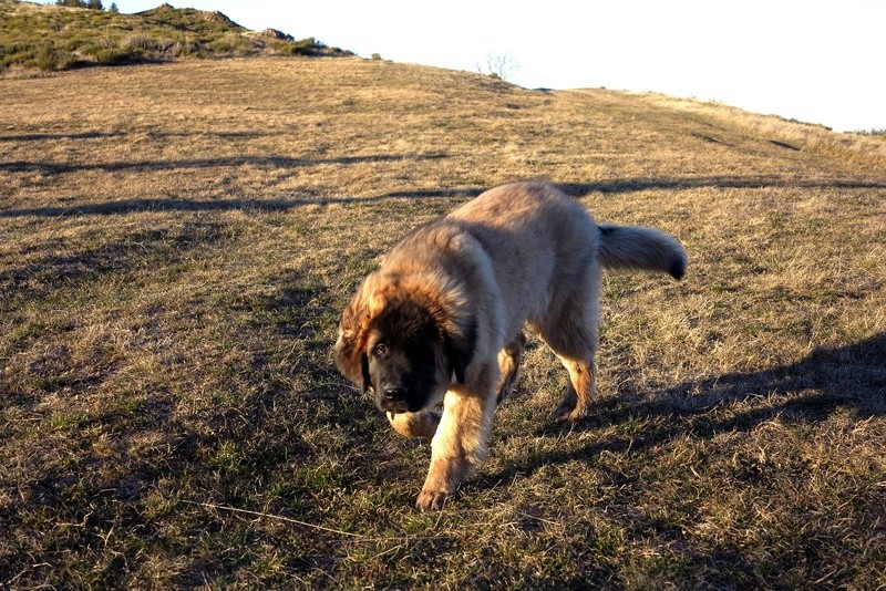 Ico, berger allemand et Misca, leonberg. - Page 5 Img_4615