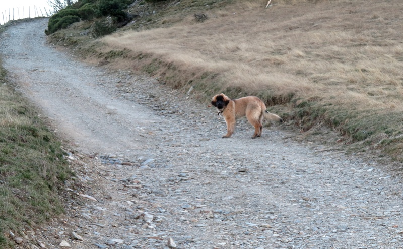Ico, berger allemand et Misca, leonberg. - Page 5 Img_4713