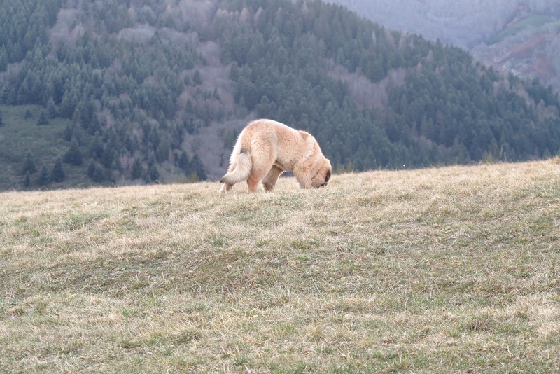 Ico, berger allemand et Misca, leonberg. - Page 5 Img_4714