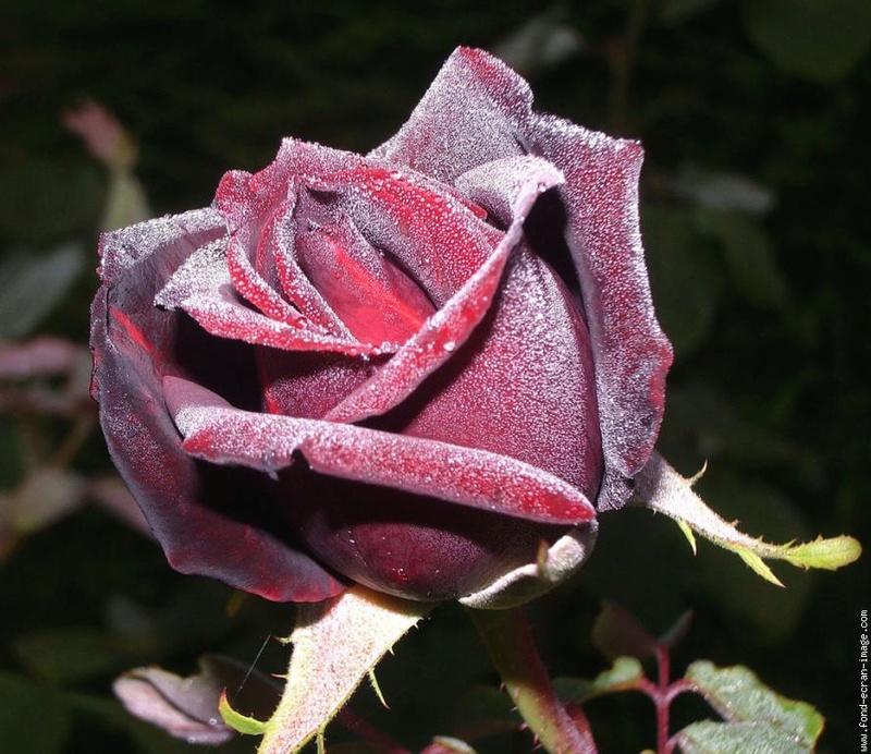 Le doux parfum des roses - Page 6 A_0235