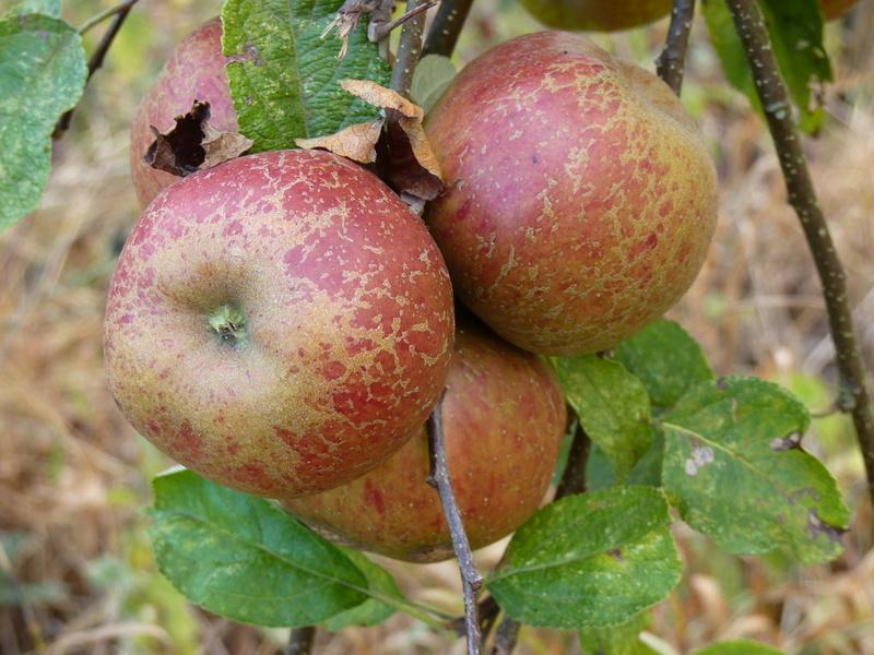 Fleurs,....fruit,.....tout ce qui se mange,...se boit....ou qui vient de la nature.......... - Page 23 A_drap10