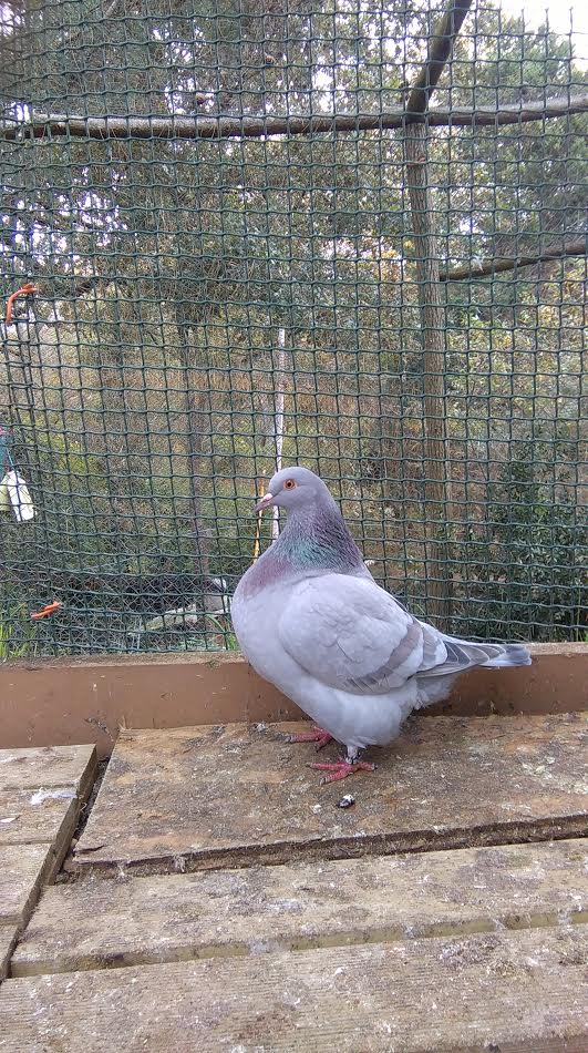 pigeons basques - Page 3 Unname21