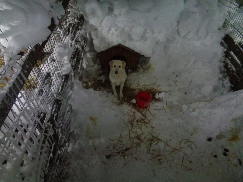 BALANUCH, mâle croisé berger sauvé de Pallady, né en 2009 parrainé par Nathalie G. -Gage Coeur  Myri_Bonnie-SC-R-SOS- 16113016