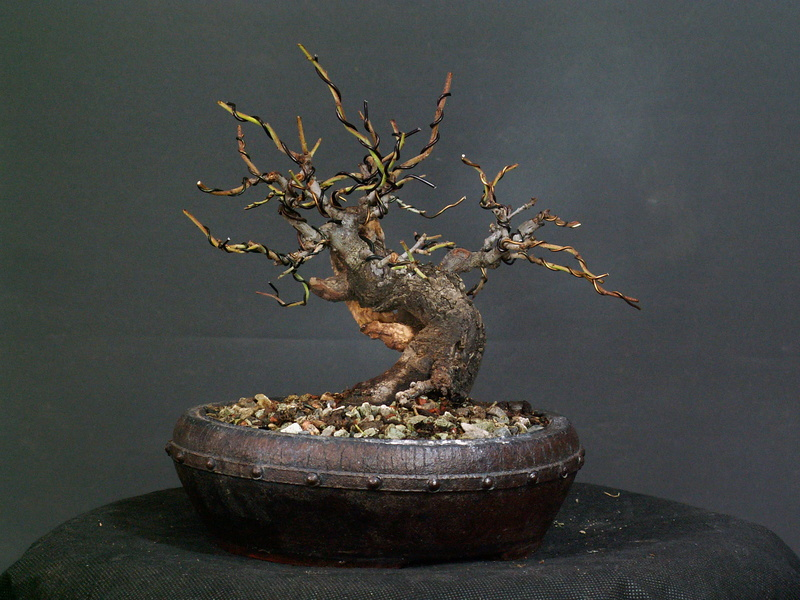 Shohin Blackthorn 03710