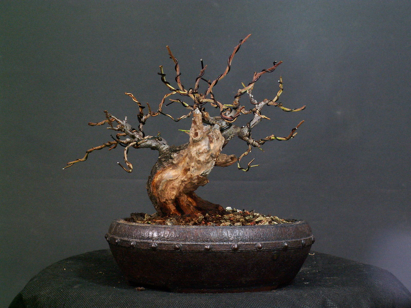Shohin Blackthorn 04610
