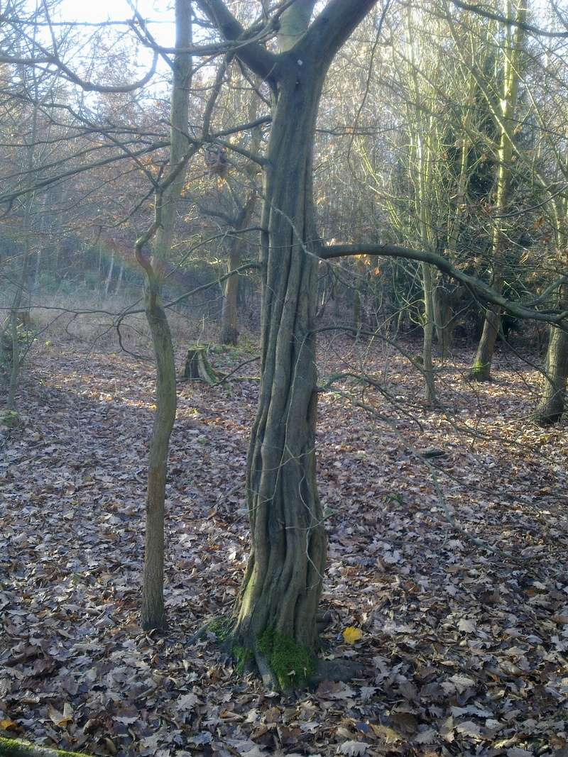 A sinewy hornbeam_Wanted_preferably live 29112010