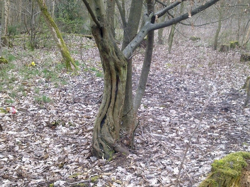 A sinewy hornbeam_Wanted_preferably live Habr_a12