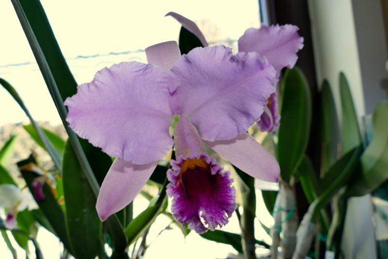 Cattleya percivaliana - Seite 21 P1000014