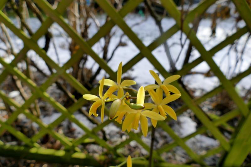 Laelia flava/Cattleya crispata P1000111