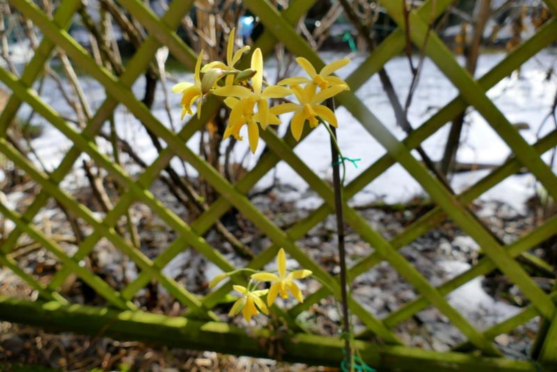 Laelia flava/Cattleya crispata P1000112