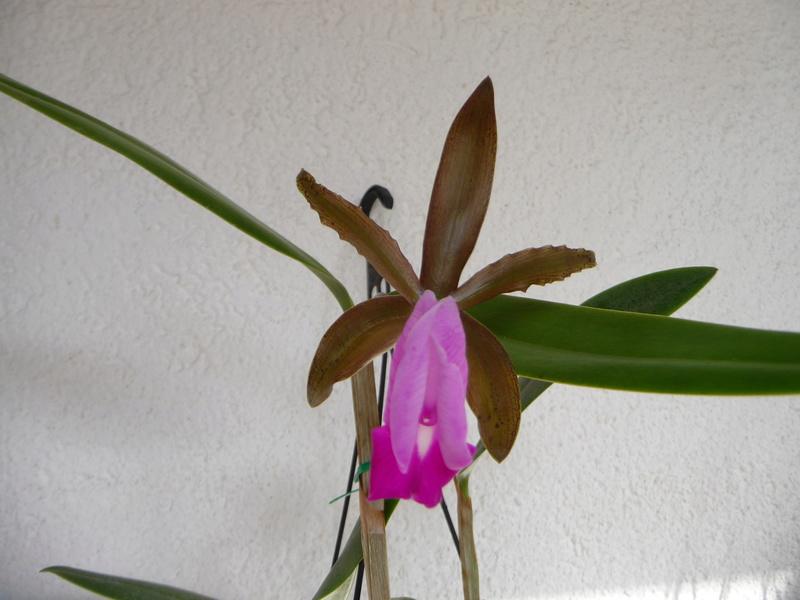 Cattleya dormaniana - Seite 2 P1360310