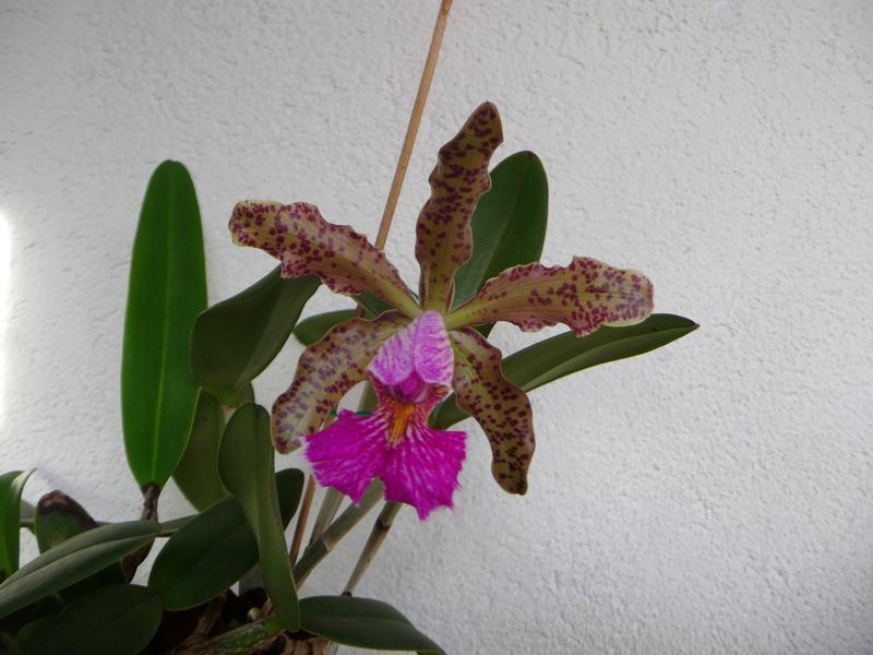 Cattleya Quinquecolor x schilleriana sanderiana und Cattleya Peckhaviensis x (Netrasiri Doll x Thospol Spots) - Seite 5 P1360513