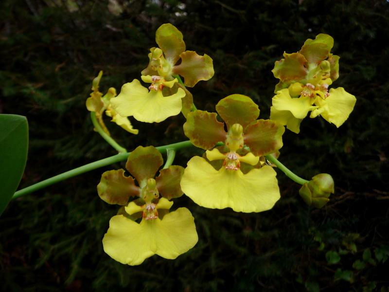 Lophiaris bicallosa, Syn. Oncidium bicallosum P1360518