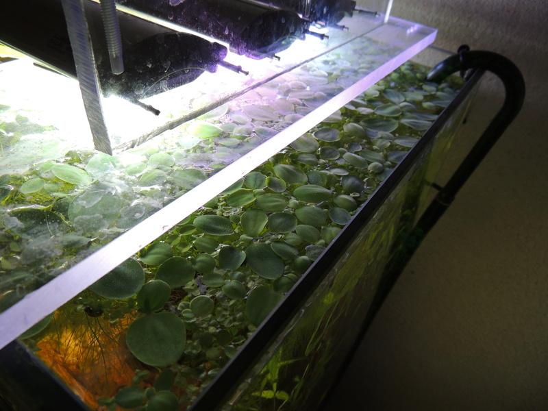 Les plantes aquatiques Dscn2512