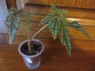 Begonia Caobangensis Img_4910
