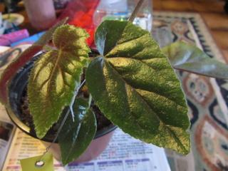 Begonia Caobangensis Img_5013