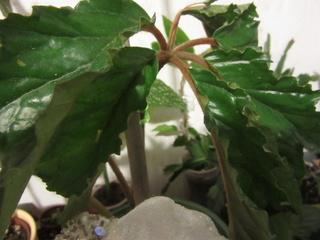 Begonia Caobangensis Img_5111