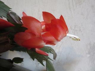 cactus de Noel Img_5114