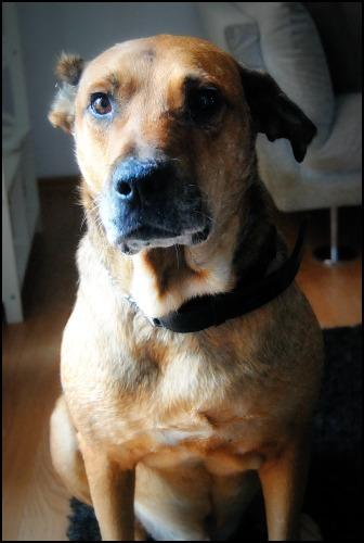 BALZAC - mâle croisé- taille moyenne né en 2008  (PASCANI) - en FA chez Yazou (Belgique) adopté par Cindy (Belgique) - Page 5 Dsc_0116
