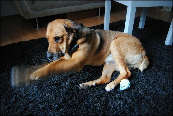 BALZAC - mâle croisé- taille moyenne né en 2008  (PASCANI) - en FA chez Yazou (Belgique) adopté par Cindy (Belgique) - Page 5 Dsc_0118