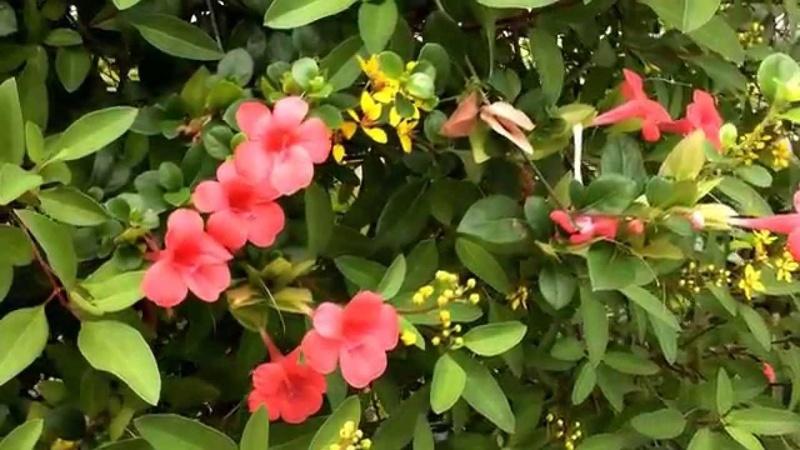 Barleria repens rosea Barler10