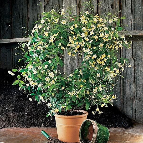 Trachelospermum jasminoides Jasmin13