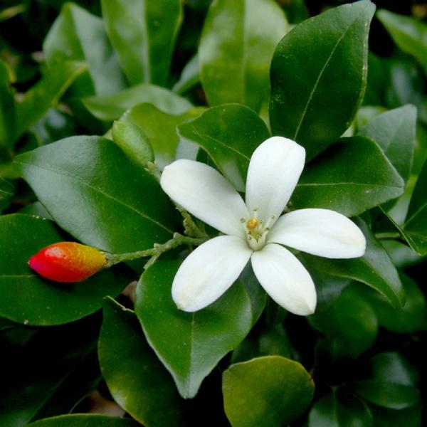 Murraya paniculata....Kineski jasmin Muraja10
