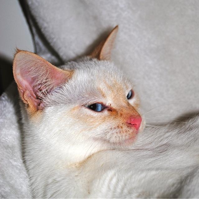 Mélodie, femelle type européenne blanche crème rousse née le 10/07/2016 - Page 4 Dsc_0013