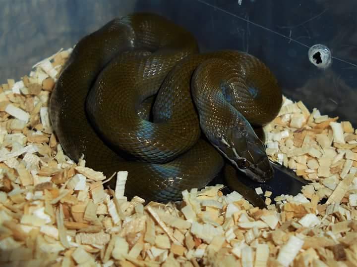 Ma femelle Boaedon olivaceus Fb_img10