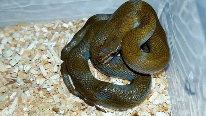 Ma femelle Boaedon olivaceus Fb_img11