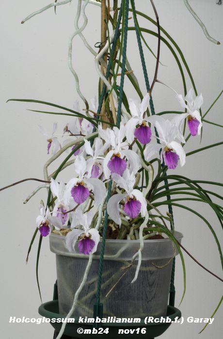 Holcoglossum kimballianum Holcog11