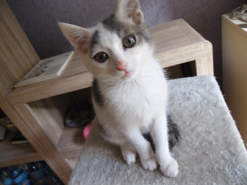 manju - Manjû mâle européen gris et blanc né le 11 08 2016 Sam_3313