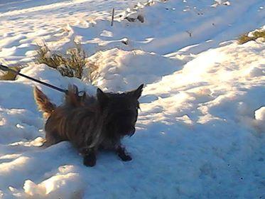 CHOUCHOU cairn mâle de 1 an fauve bringé - Page 2 Chouch10