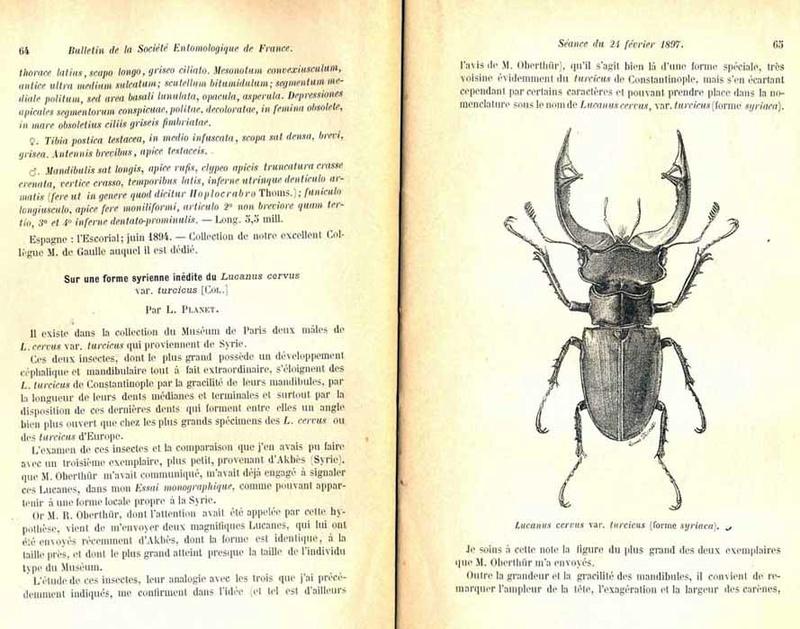 Lucanus (lucanus) busignyi  Descri10