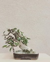 Ficus Retusa from a nursery broom Img_1010