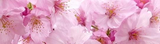 Postez vos inserts ... Sakura11