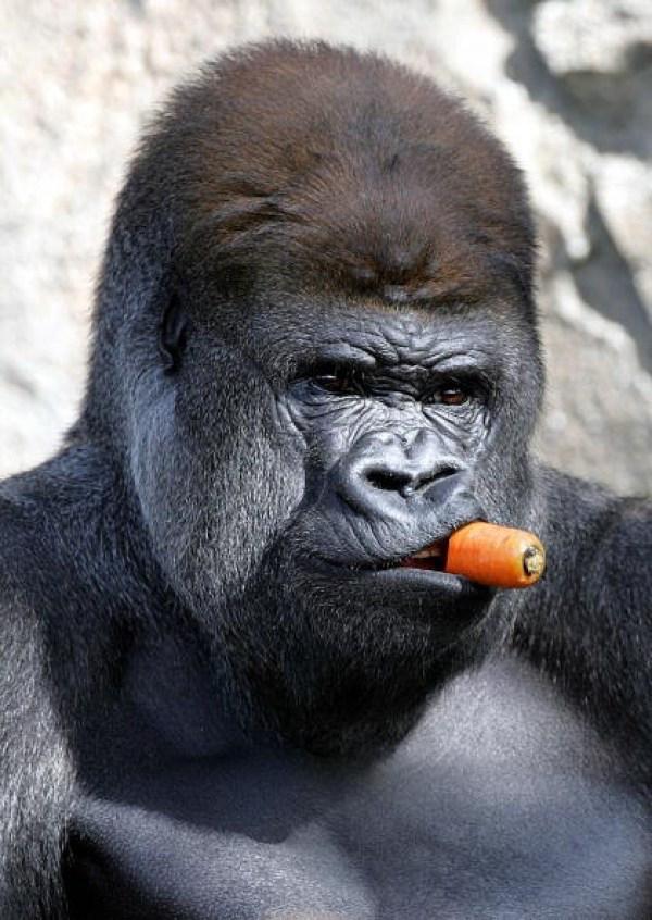 Bonjour à tous - Page 2 Gorill11