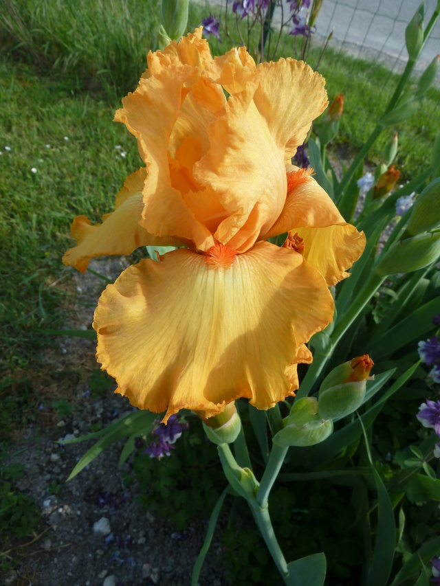 Iris 'Avalon Sunset' - Schreiner 1994 Avalon10