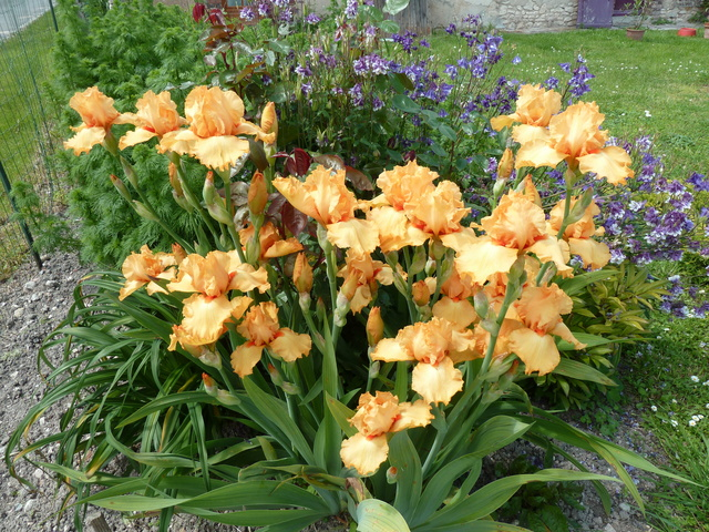 Iris 'Avalon Sunset' - Schreiner 1994 Avalon11