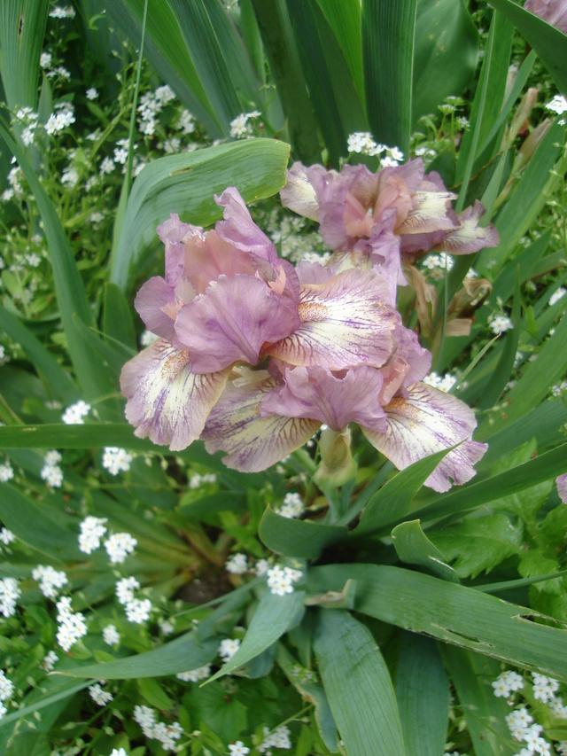 Associer nos iris à d'autres plantes pour de beaux massifs Dsc04410
