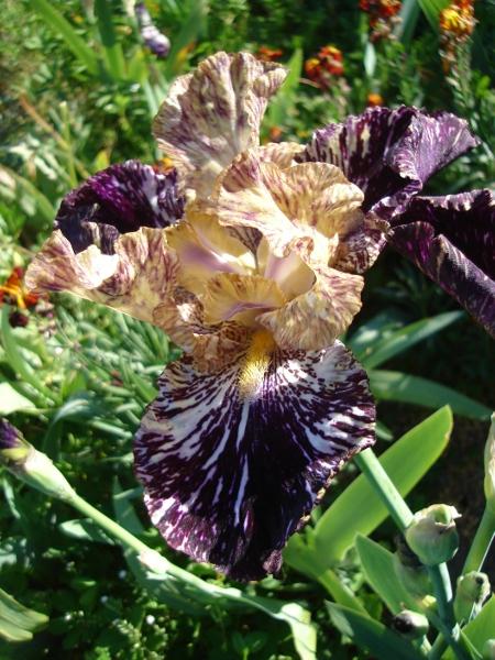 Iris broken color Gnuss_10