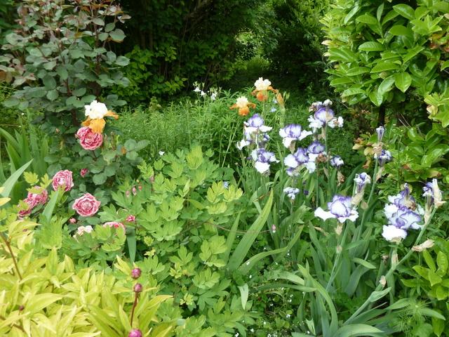 Associer nos iris à d'autres plantes pour de beaux massifs P1050410