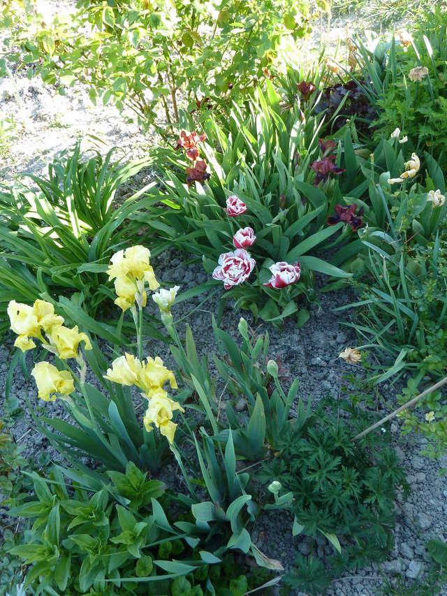 Associer nos iris à d'autres plantes pour de beaux massifs P1080810