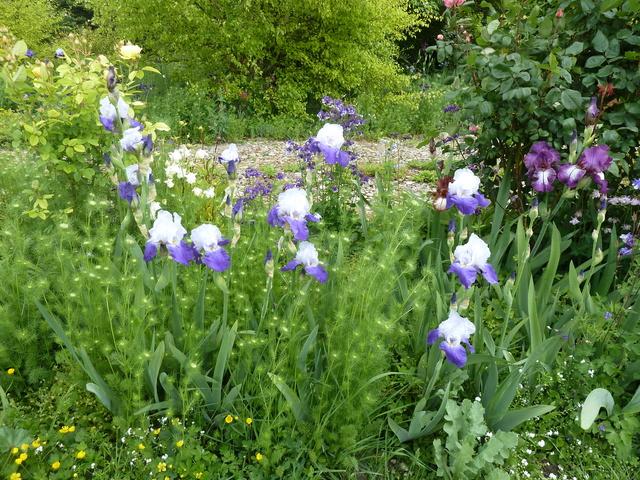 Associer nos iris à d'autres plantes pour de beaux massifs P1090910