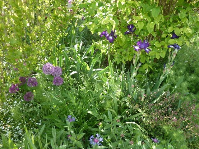 Associer nos iris à d'autres plantes pour de beaux massifs P1090912