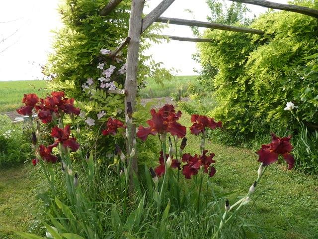 Associer nos iris à d'autres plantes pour de beaux massifs P1160510