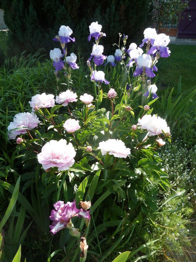 Associer nos iris à d'autres plantes pour de beaux massifs P1160710